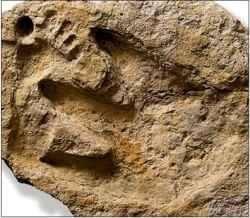 fossil 3 paluxy