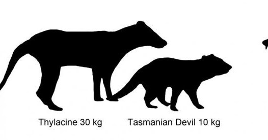 bunyip Illustration showing size comparison of Australian marsupials including new extinct species of carnivorous marsupial, Whollydooleya tomnpatrichorum, from New Riversleigh fossil site in Queensland.