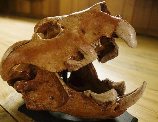 bunyip thylacoleo carnifex skull