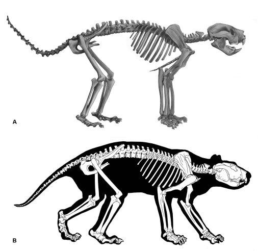 bunyip thylacoleo skeleton