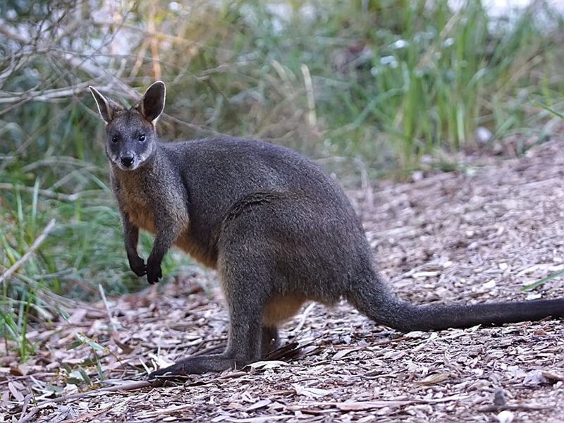 swamp_wallaby