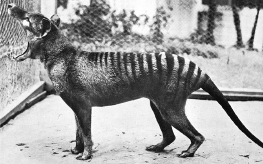 thylacine 1936