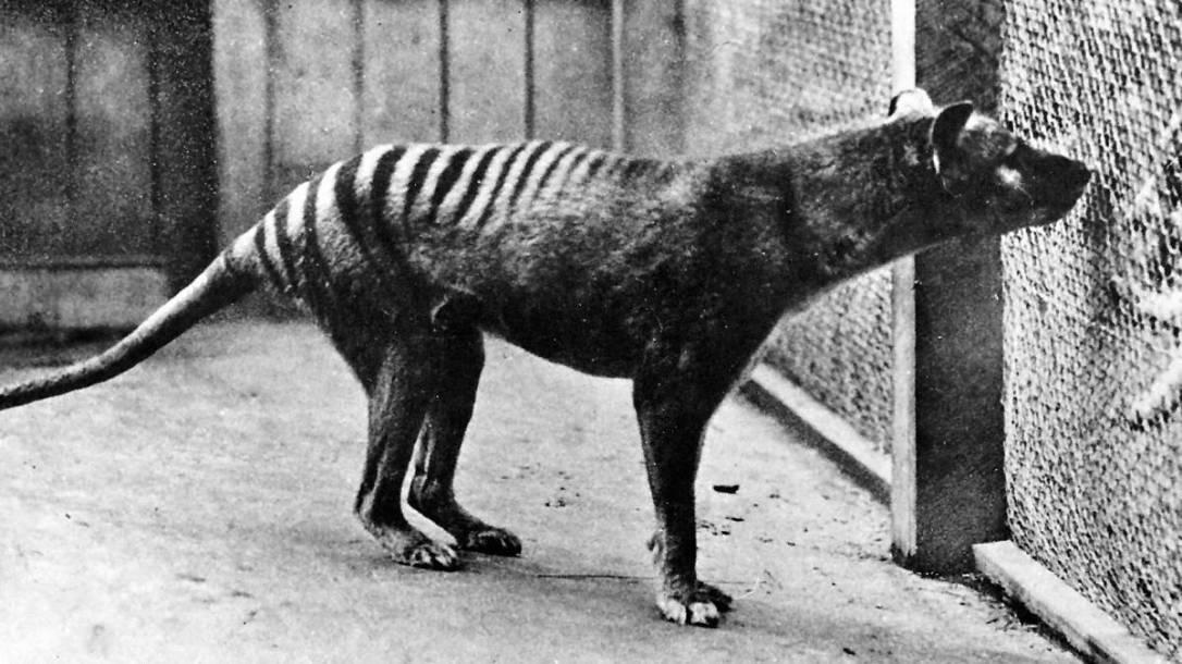thylacine last one