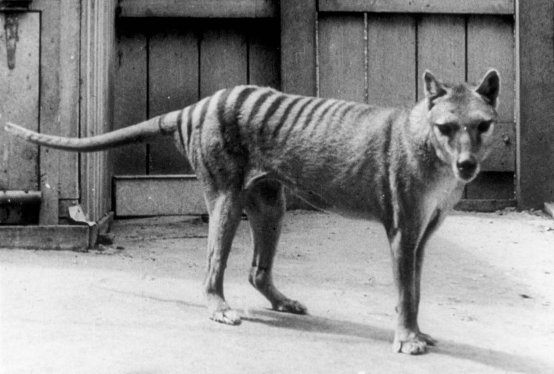 thylacine-wolf-photo-Hobart-Zoo-Australia-candidates-2014