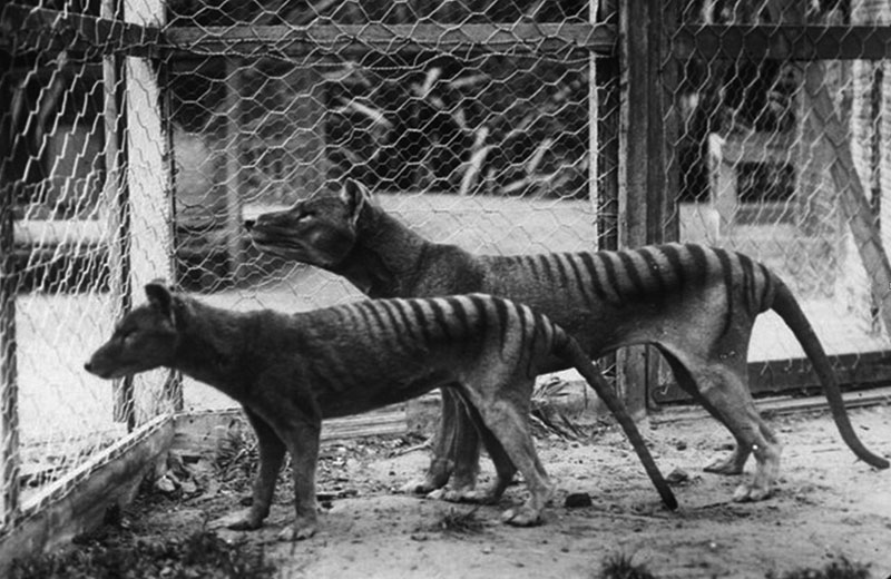 thylacines 1936